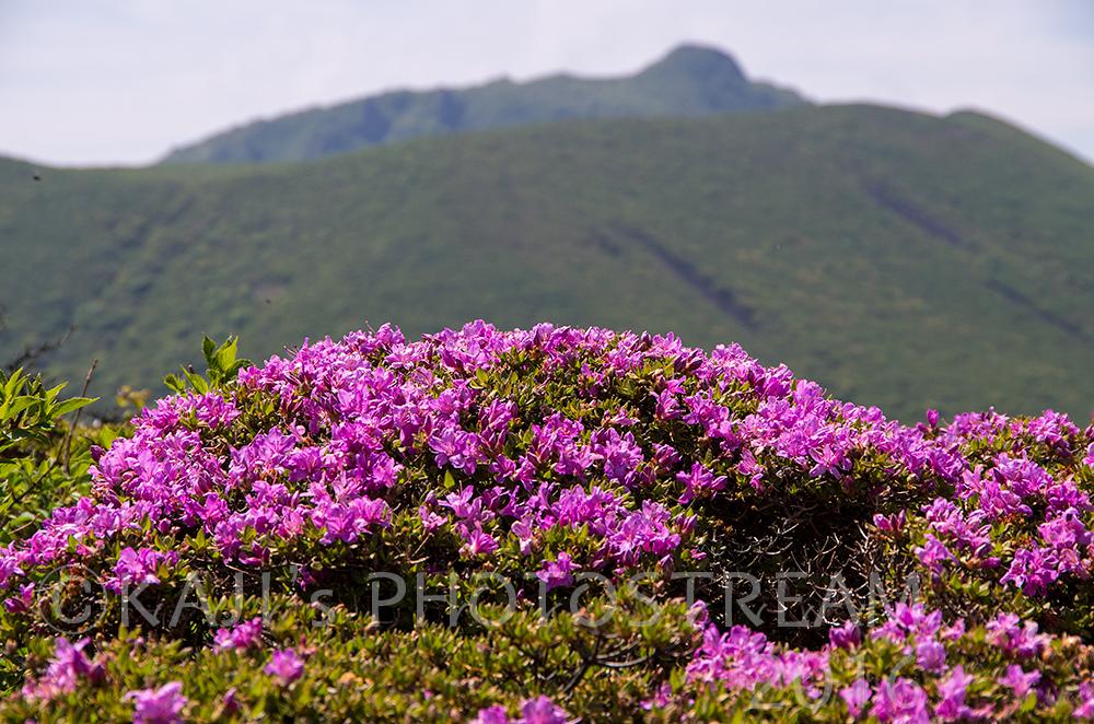 平治岳のミヤマキリシマ