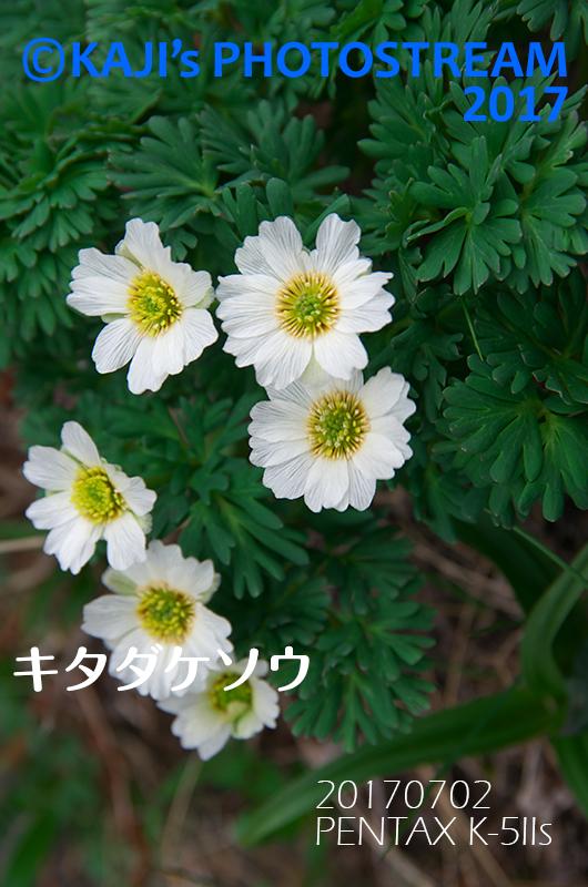 念願のキタダケソウ